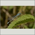 Bild 24 zum Bildarchiv Libellen
