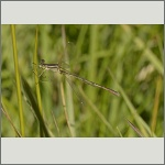 Bild 92 zum Bildarchiv Libellen
