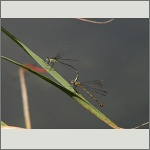 Bild 20 zum Bildarchiv Libellen