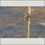 Bild 21 zum Bildarchiv Libellen