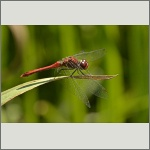 Bild 88 zum Bildarchiv Libellen