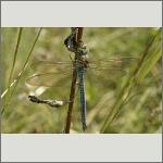 Bild 94 zum Bildarchiv Libellen