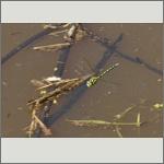 Bild 96 zum Bildarchiv Libellen