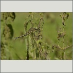 Bild 97 zum Bildarchiv Libellen