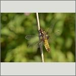 Bild 98 zum Bildarchiv Libellen
