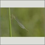 Bild 9 zum Bildarchiv Libellen