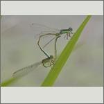 Bild 10 zum Bildarchiv Libellen
