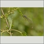 Bild 11 zum Bildarchiv Libellen