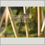 Bild 12 zum Bildarchiv Libellen