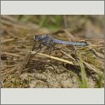 Bild 5 zum Bildarchiv Libellen