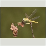 Bild 4 zum Bildarchiv Libellen