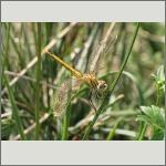 Bild 100 zum Bildarchiv Libellen
