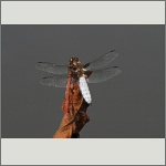 Bild 103 zum Bildarchiv Libellen