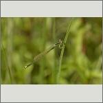 Bild 99 zum Bildarchiv Libellen