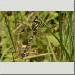 Bild 101 zum Bildarchiv Libellen