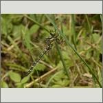 Bild 107 zum Bildarchiv Libellen