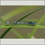 Bild 108 zum Bildarchiv Libellen