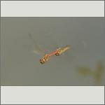Bild 104 zum Bildarchiv Libellen