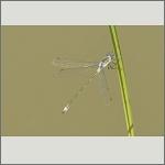 Bild 105 zum Bildarchiv Libellen