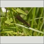 Bild 113 zum Bildarchiv Libellen