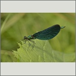 Bild 114 zum Bildarchiv Libellen
