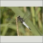 Bild 116 zum Bildarchiv Libellen