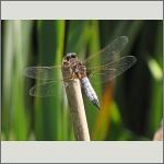 Bild 111 zum Bildarchiv Libellen