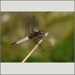 Bild 110 zum Bildarchiv Libellen