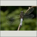 Bild 112 zum Bildarchiv Libellen