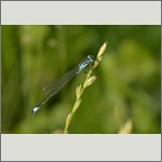 Bild 118 zum Bildarchiv Libellen