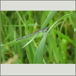 Bild 122 zum Bildarchiv Libellen