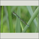 Bild 119 zum Bildarchiv Libellen