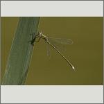 Bild 134 zum Bildarchiv Libellen