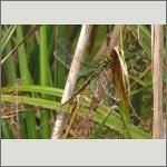 Bild 135 zum Bildarchiv Libellen