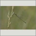 Bild 137 zum Bildarchiv Libellen