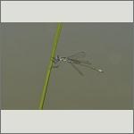 Bild 143 zum Bildarchiv Libellen