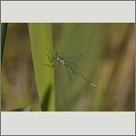 Bild 139 zum Bildarchiv Libellen