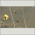 Bild 142 zum Bildarchiv Libellen