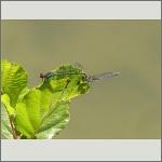 Bild 144 zum Bildarchiv Libellen