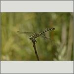 Bild 150 zum Bildarchiv Libellen