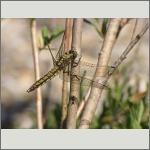 Bild 151 zum Bildarchiv Libellen