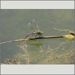 Bild 152 zum Bildarchiv Libellen