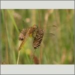 Bild 148 zum Bildarchiv Libellen