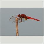Bild 154 zum Bildarchiv Libellen