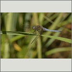 Bild 158 zum Bildarchiv Libellen