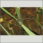 Bild 159 zum Bildarchiv Libellen