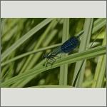 Bild 162 zum Bildarchiv Libellen