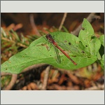 Bild 163 zum Bildarchiv Libellen