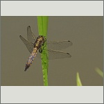 Bild 160 zum Bildarchiv Libellen