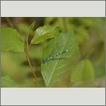 Bild 166 zum Bildarchiv Libellen
